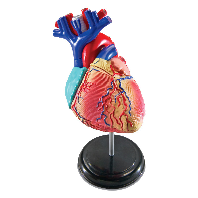 Learning Resources Anatomy Model Heart Ler3332